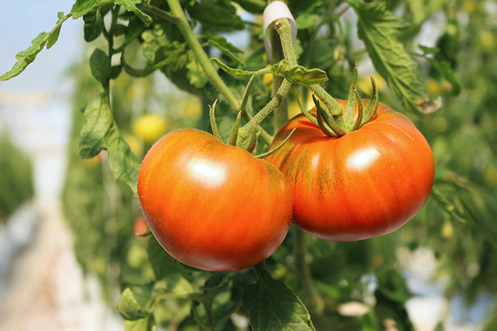 5. Oshima Tomatoes